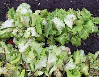 31.10. Можно еще набрать свежих листиков салата, если покопаться, найдутся вполне хорошие.