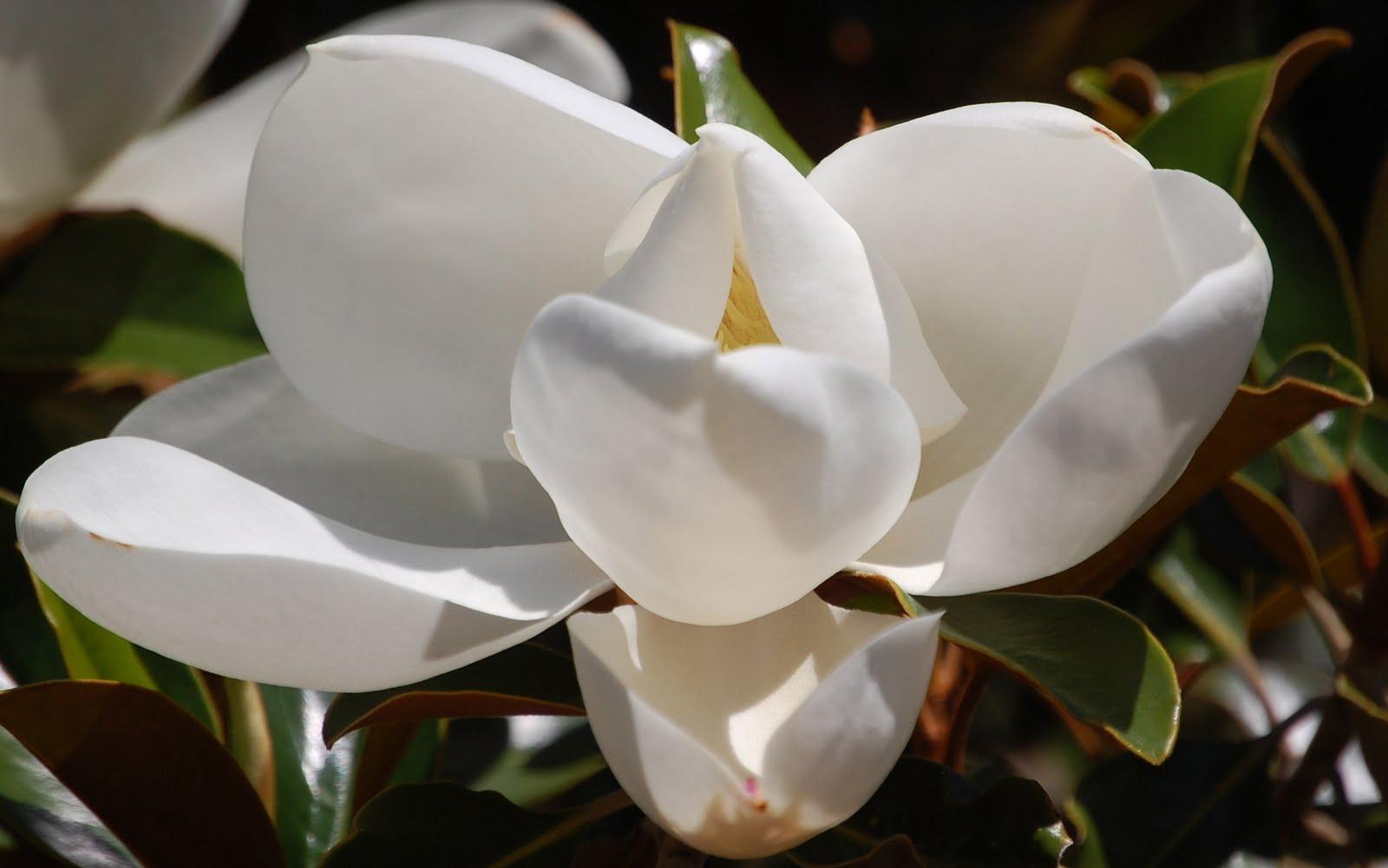 Simple white magnolia