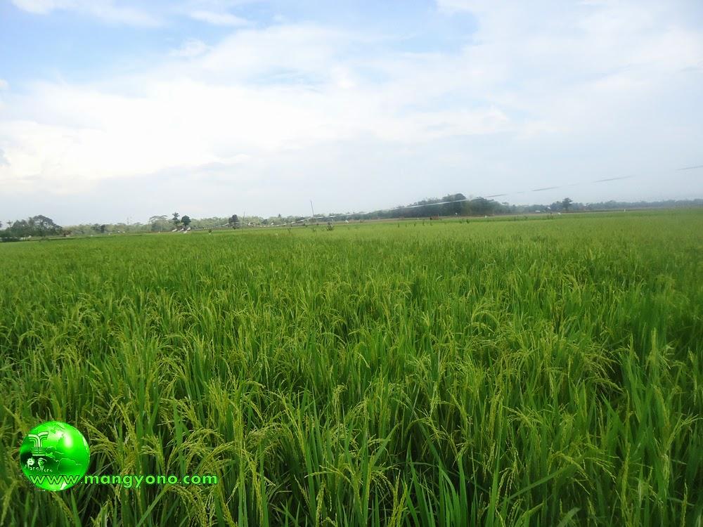 Kalau melihat hamparan sawah dan tanaman padi, rasanya seger... Sampai - sampai lupa utang hehehe