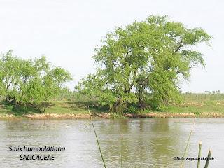 sauce criollo Salix humboldtiana