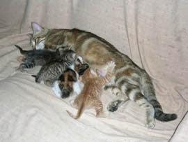 Gata amamantando a sus gatitos