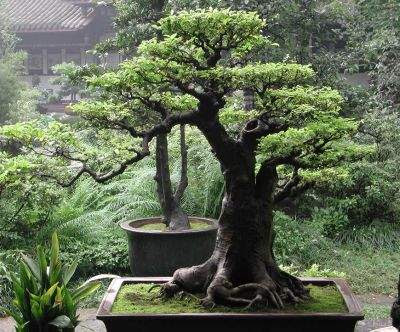 small bonsai tree in garden - Trees For Home Garden