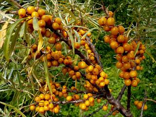 ветка облепихи с плодами