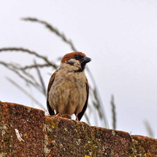 tree sparrow on a wall