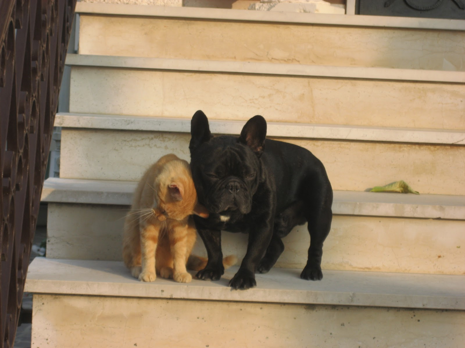 Il blog di filippo bouledogue francese ottobre 2011 for Bouledogue francese