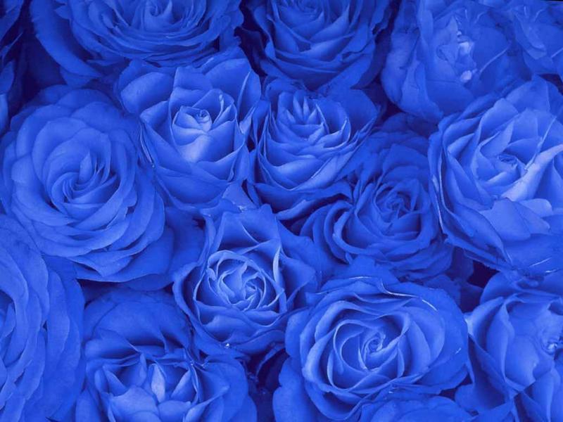 Blue Rose Elegant Flowers