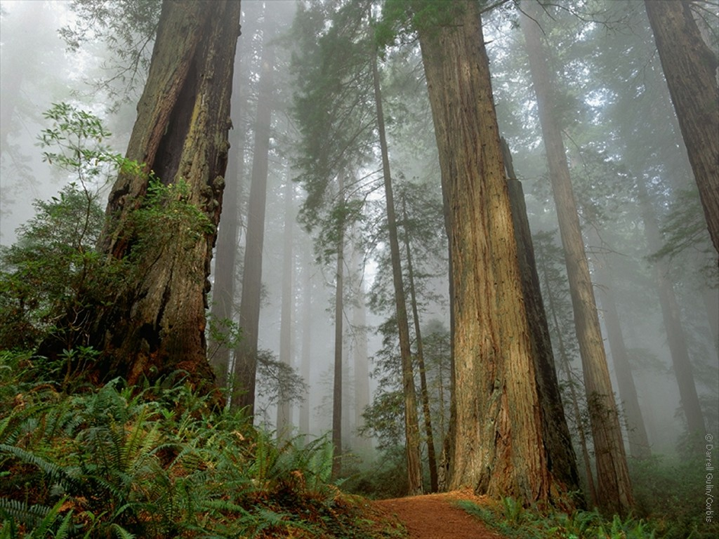 This Is My New Homepage Picture A Lovely Enchanted Redwood Forest The