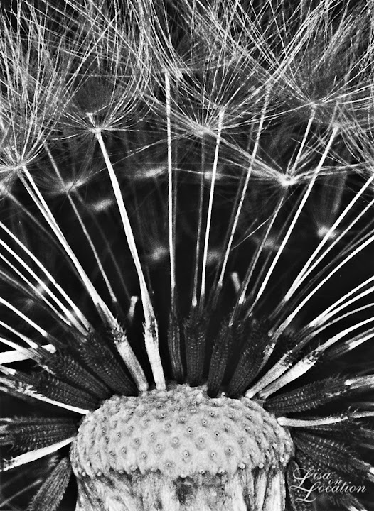 365 photo project, macro dandelion, Lisa On location photography. New Braunfels, Austin, San Marcos, San Antonio. Karl Blossfeldt
