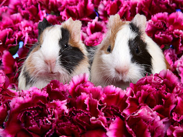 #9 Guinea Pigs Wallpaper