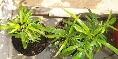 11 Tanaman Pengusir Nyamuk, bunga zodia, dammar-asihan.blogspot.com