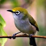 Cara mudah dan sederhana merawat burung pleci supaya cepat gacor
