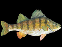 Yellow Perch Fish Pictures