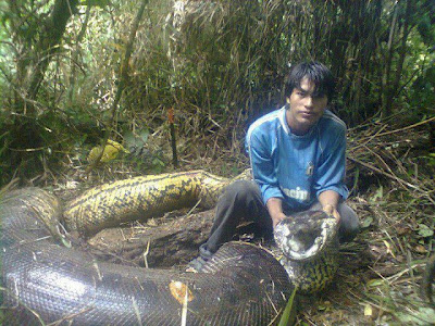 Anaconda gigante que teria matado 3 é morta na Bolívia