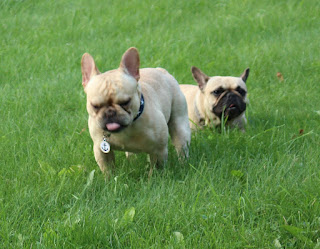 cream french bulldog sneezing in lawn