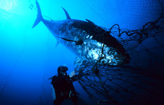 large tuna being caught in a net