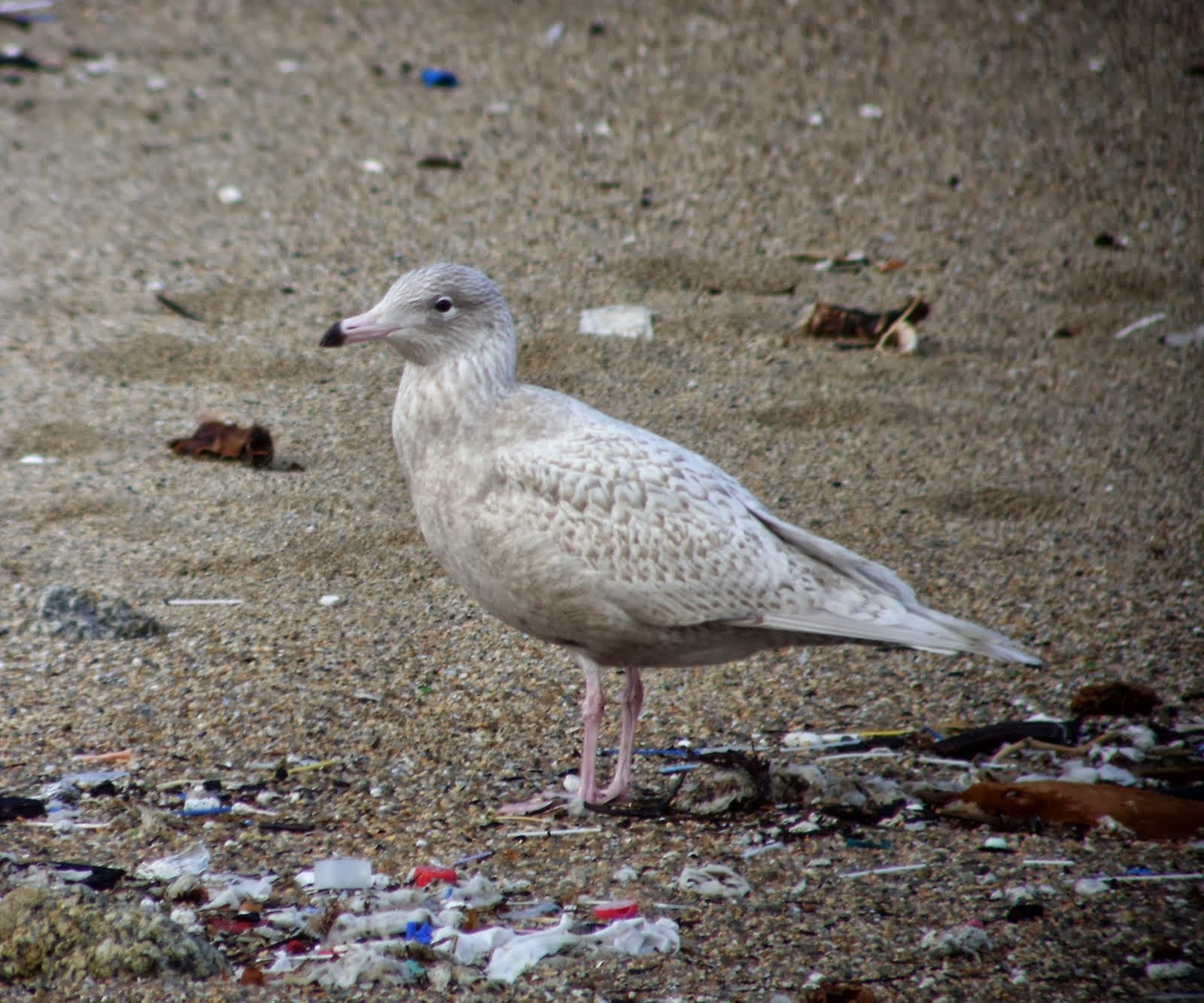 Glaucous Gull 1st winter, glamour en estado puro