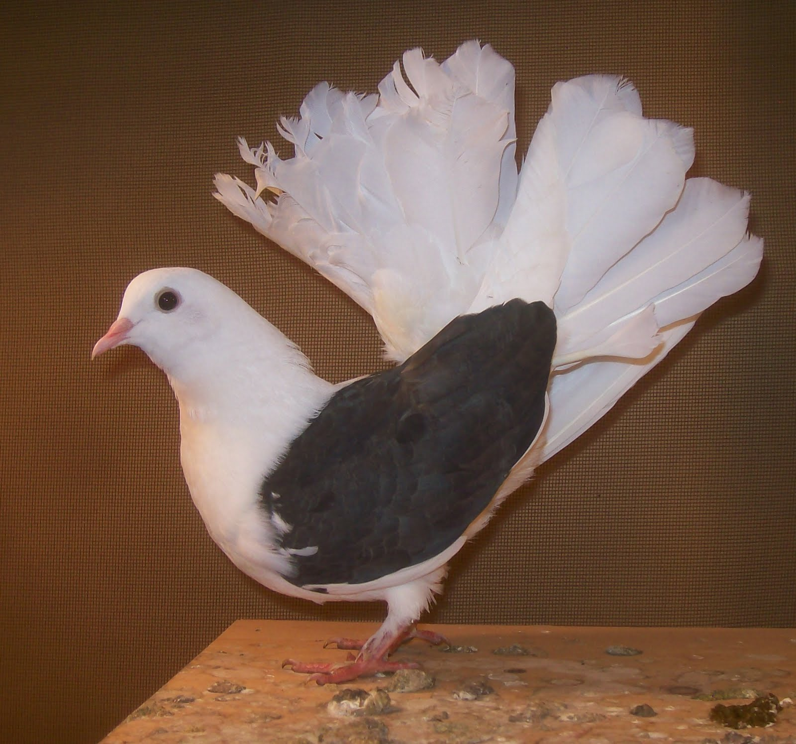 how to catch doves and pigeons