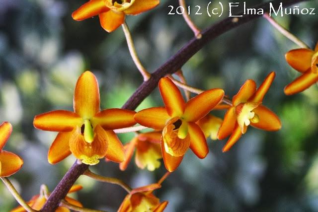 Eriopsis bilova. Orquideas del Perú