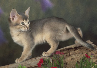 Abyssinian Cat Picture