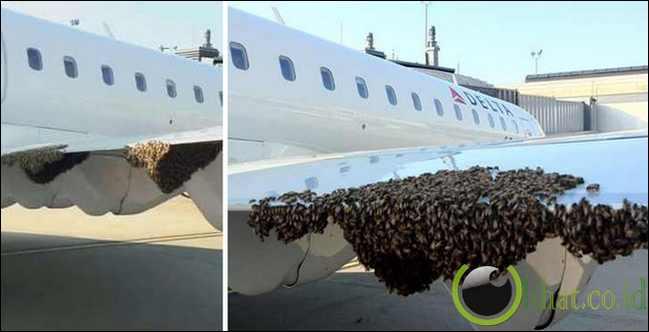 Sayap pesawat diserbu lebah