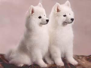 American Eskimo Dogs