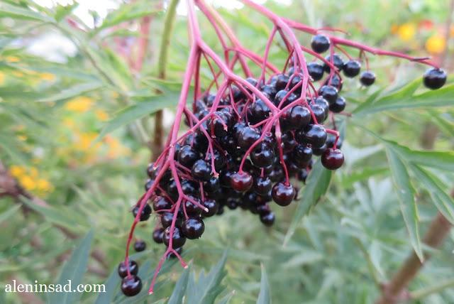 аленин сад, бузина черная, бузина, первый урожай