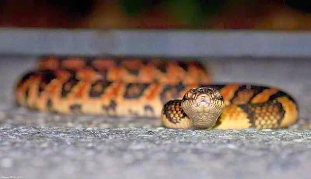 Akamata, Dinoden semcarinatum,snake