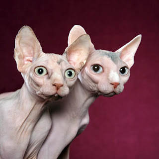 sphynx cat picture