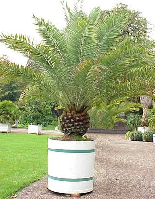 10 fruits tropicaux mangés = 10 plantes tropicales à faire pousser