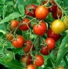 Pengertian Tomat, buah tomat, tomat, Sejarah tomat, jenis jenis tomat