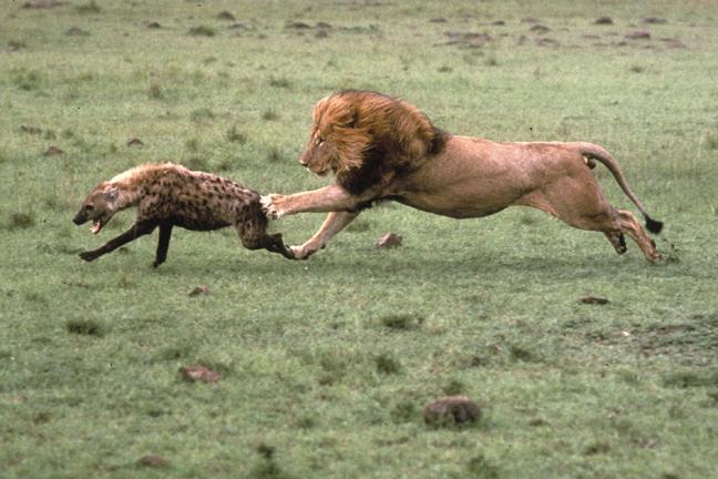 Gambar Hiena Afrika Terbaru