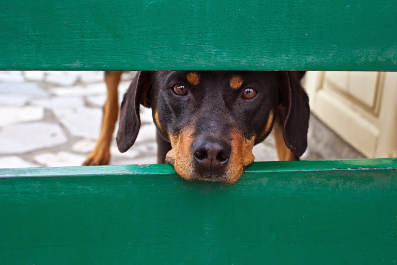Brown dog with sad eyes looking from behind the gate