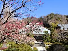 梅・浄妙寺