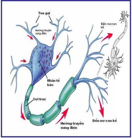 Cấu tạo sợi thần kinh