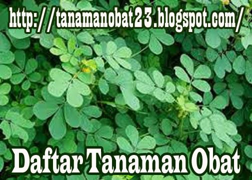 Tanaman Obat Ketepeng Kecil (Cassia tora Linn.)