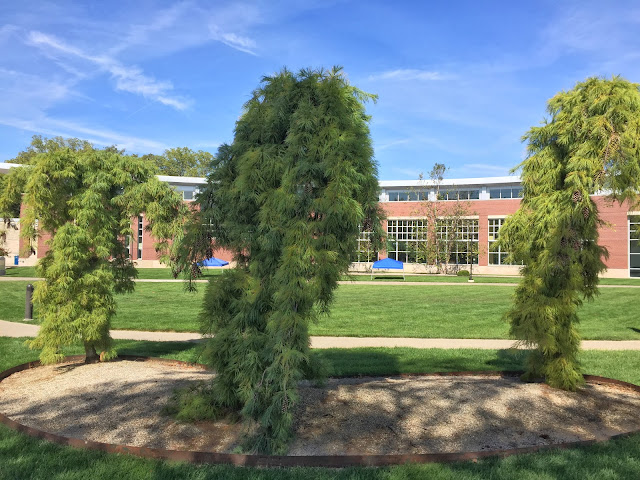 Pinus strobus 'Pendula' at Butler University