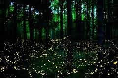 Synchronous Fireflies in the Great Smoky Mountains - Elkmont
