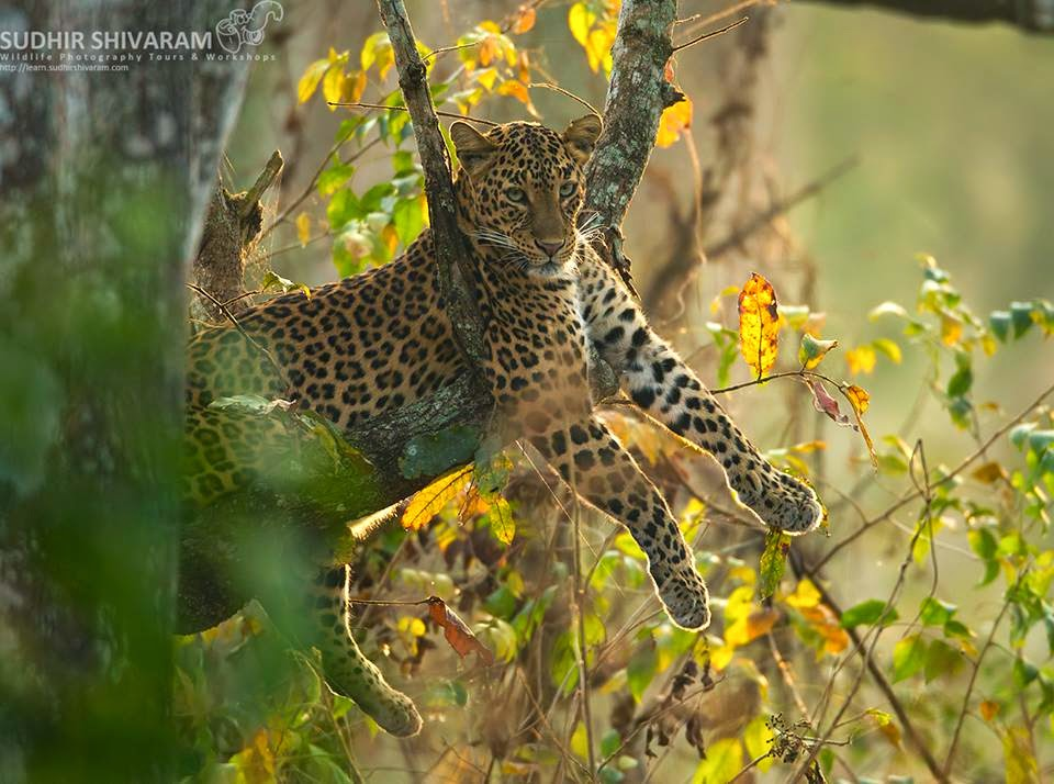 Leopard in Kabini