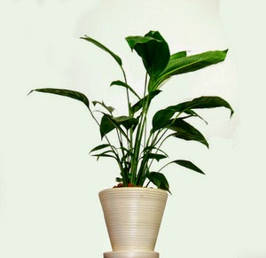 Get Rid of Bugs on Houseplants