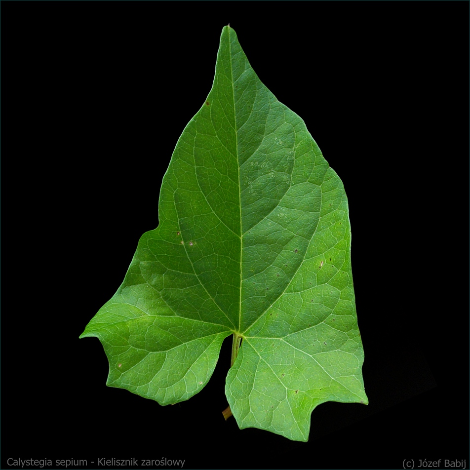 Calystegia sepium - Kielisznik zaroślowy liść