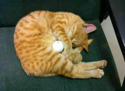 foto seekor kucing bernama goldi tidur di atas kursi kantor tentara amerika di Afghanistan