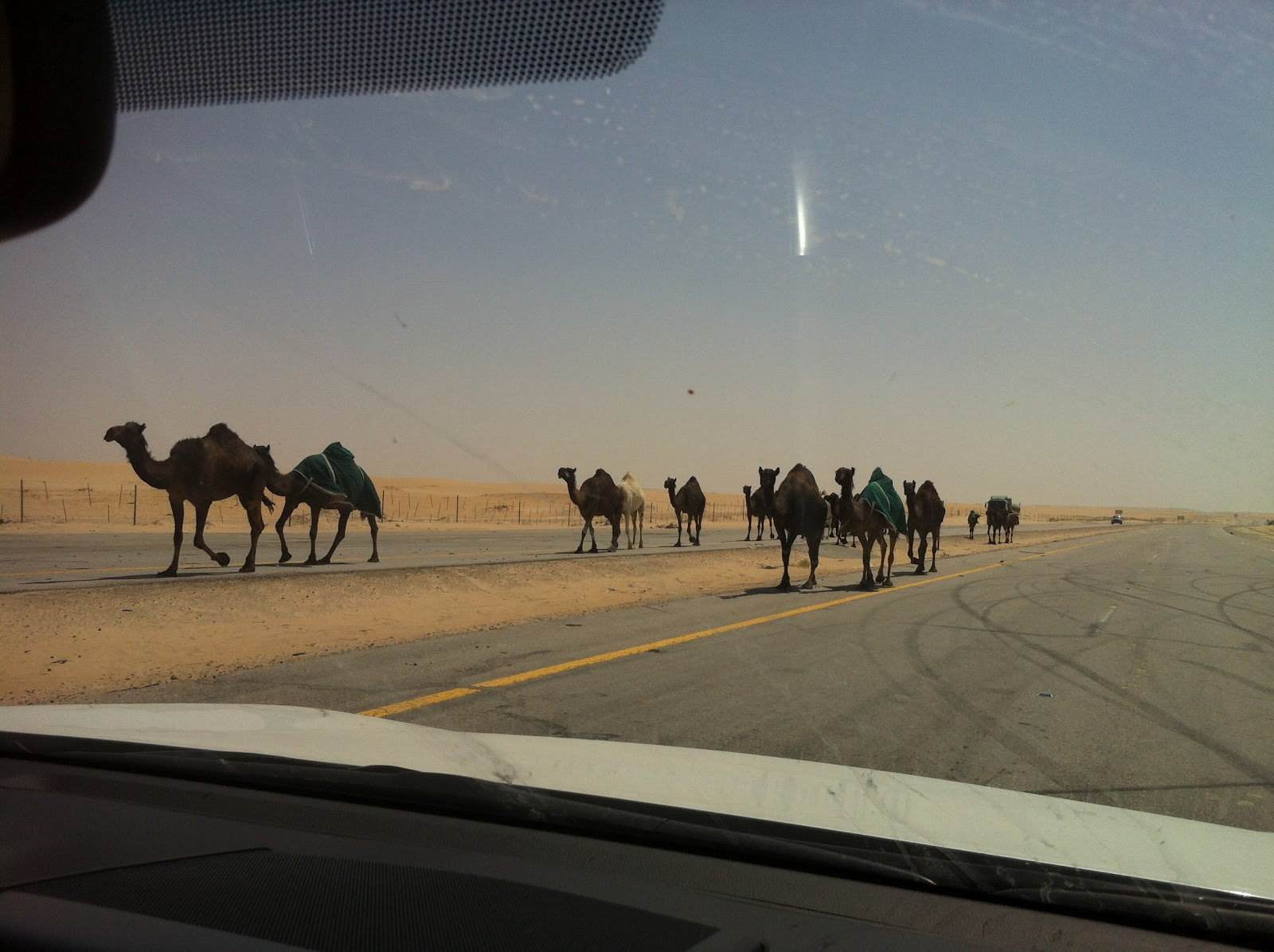 Al Hofuf Saudi Arabia  city images : Two seperate groups of Camels were being moved along this highway and ...