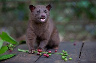 Wild Civet Pictures