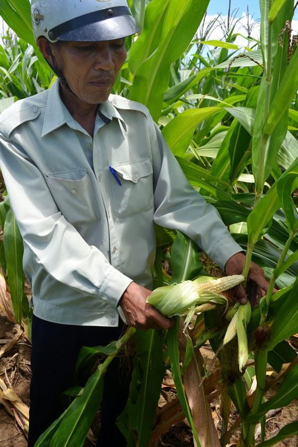 Gia Lai: Bắp không hạt, dân lãnh đủ!
