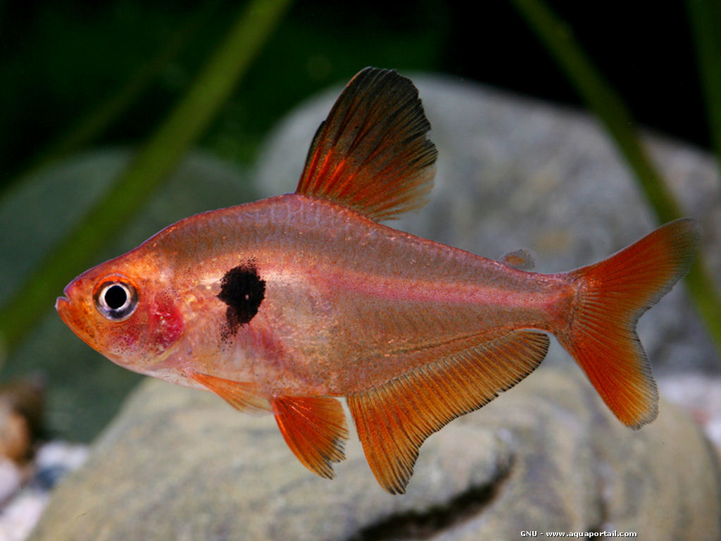 Red Serpae Tetra Serpae tetra atau red minor