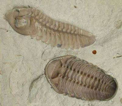 Class Trilobitte/ Class Trilobita