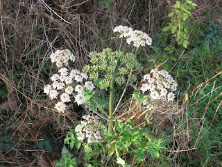 Cow parsley in full flower - but in early January