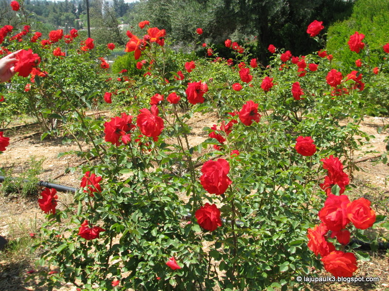 THROUGH THE LAND OF ISRAEL III 39 The Wohl Rose Park 39 Or