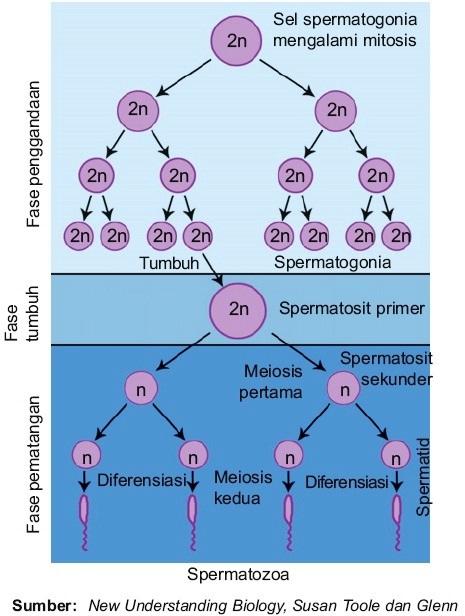 Proses pembentukan sel sperma spermatogenesis pada pria manusia tahap spermatogenesis ccuart Image collections