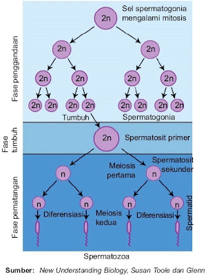 Tahap spermatogenesis